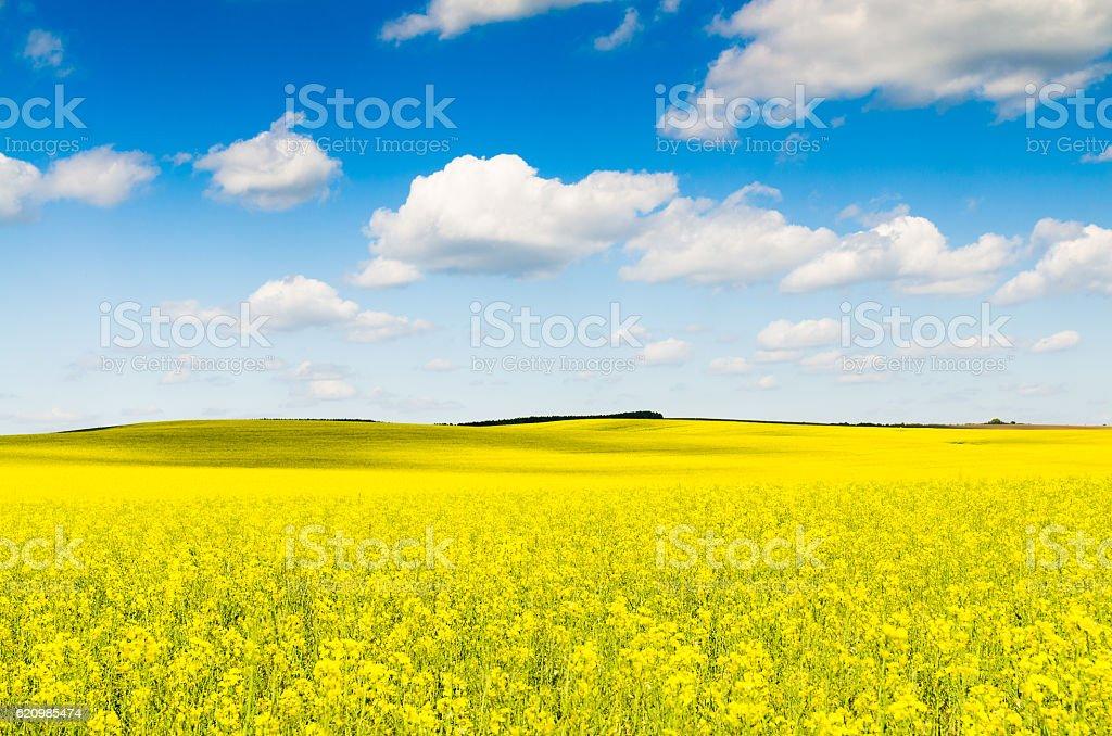 Yellow oilseed rape field under the blue sky with sun stock photo