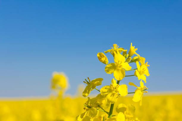 Gelben Raps Rapsfeld mit Pylon im Hintergrund – Foto