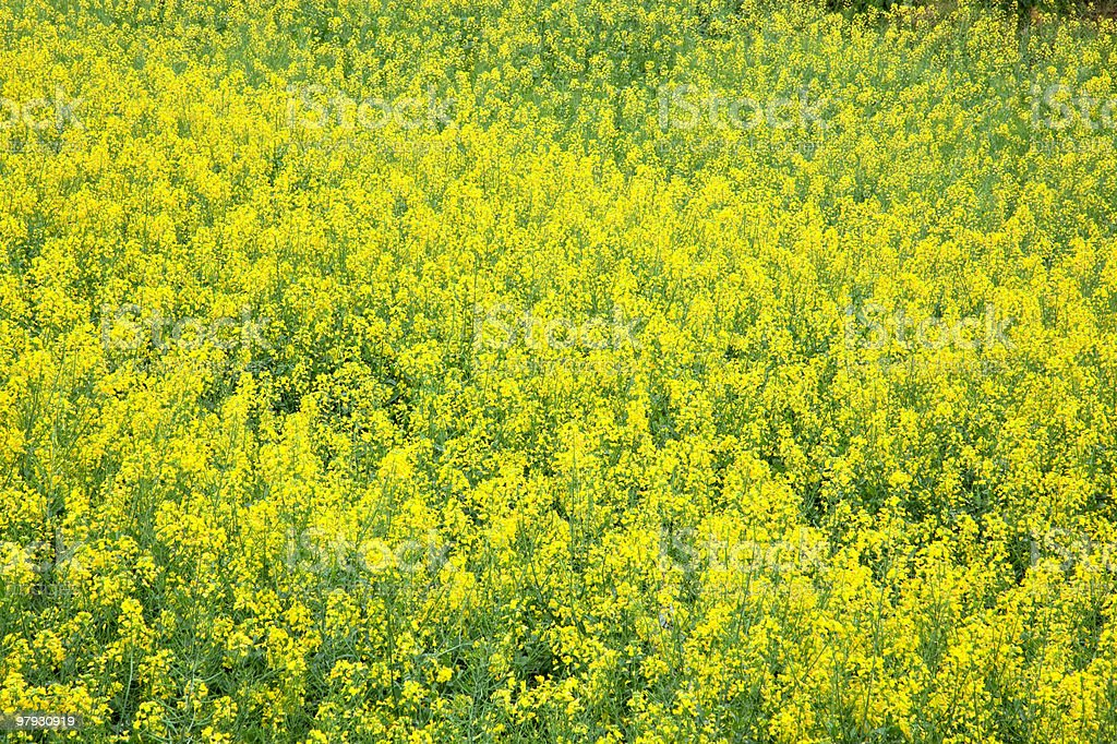 Yellow oilseed rape scenery royalty-free stock photo