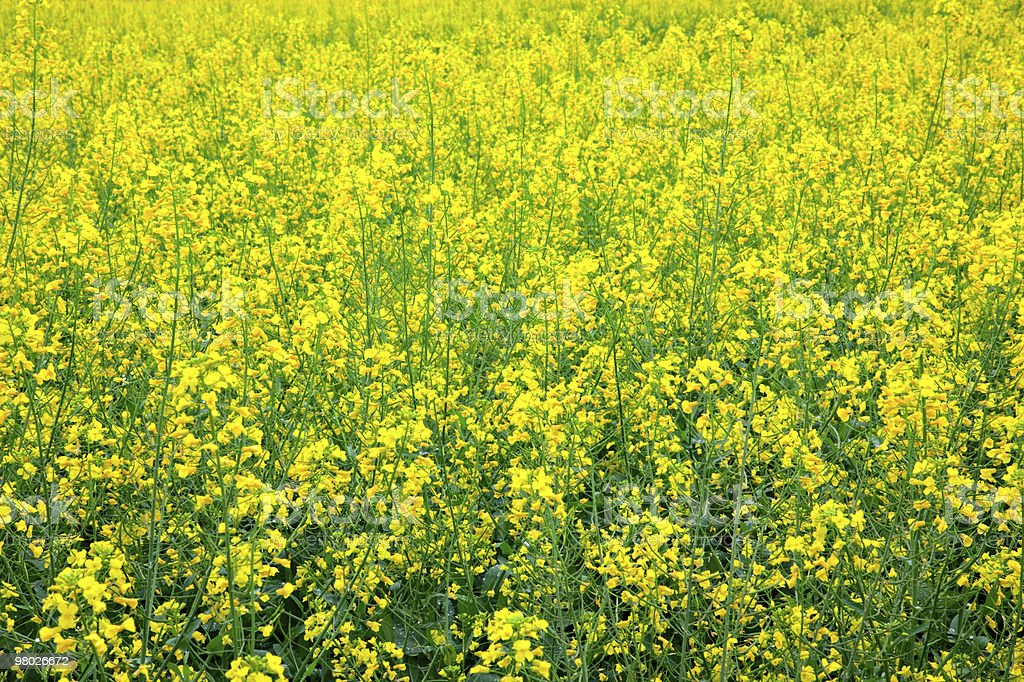 Yellow oilseed rape scenery royalty-free stock photo