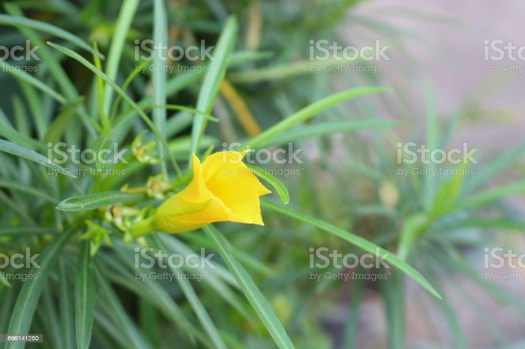 Yellow oleander in the garden. stock photo