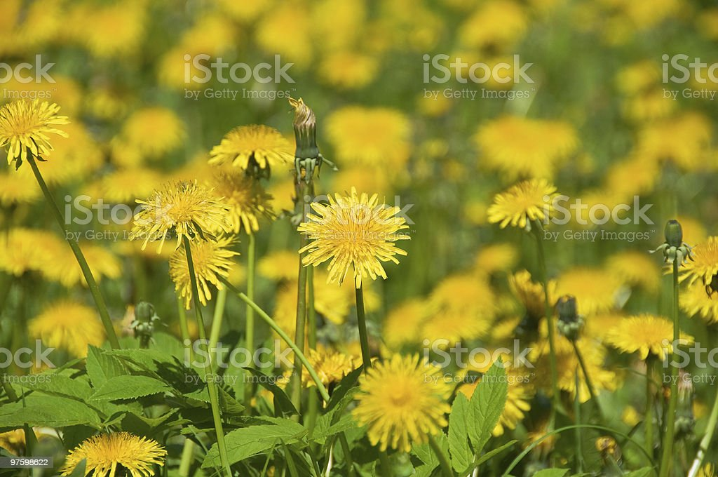 Yellow on the green. A field of dandelions royaltyfri bildbanksbilder