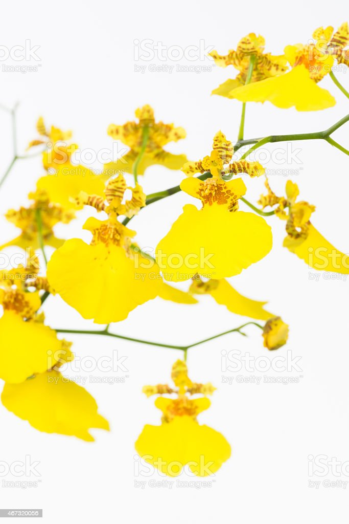 Yellow Oncidium dancing lady orchids stock photo