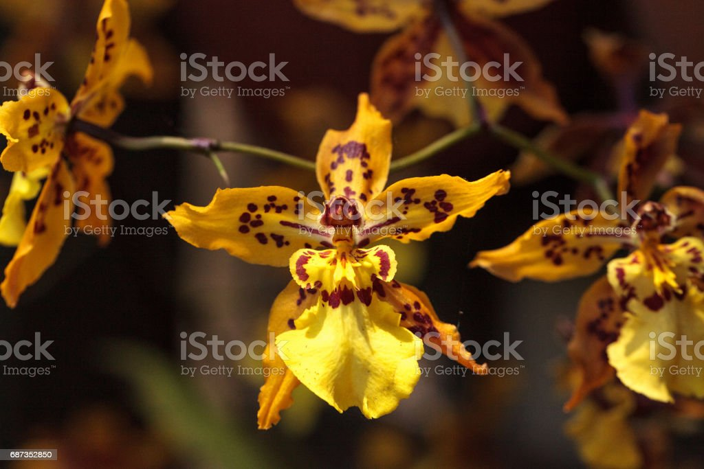 Yellow oncidium orchid flower stock photo