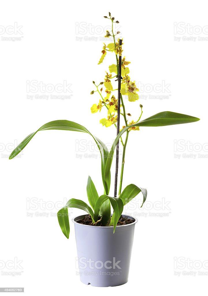 Yellow Oncidium orchid in flowerpot stock photo