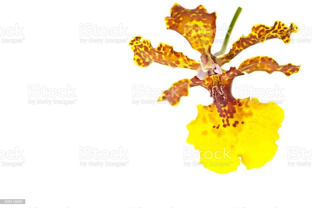 Yellow  oncidium orchid stock photo