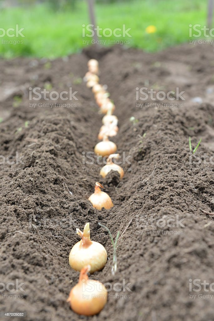 Yellow Onion In Soil stock photo