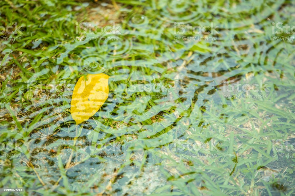 Yellow or dry leaf sink under water flood over grass in raining day...