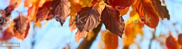Yellow orange and red autumn leaves autumn banner panorama picture id802544934?b=1&k=6&m=802544934&s=612x612&h=rt7pwxme4ktvsiv8azyz8tszgico2vveju4rkdwuw0w=