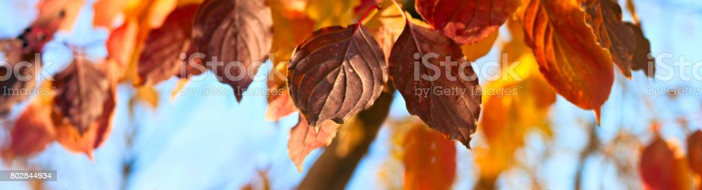 Yellow, orange and red autumn leaves - autumn banner panorama stock photo