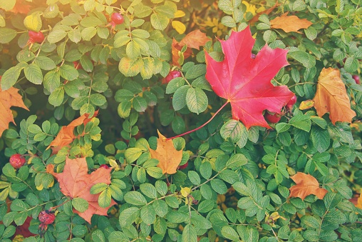 1038696838 istock photo Yellow, orange and red september leaves on a green bush rose hips in beautiful fall park. Fallen golden autumn leaves on green grass in sunny morning sun light yard. October landscape background. 1271610570