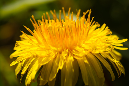 A yellow and orange dandelion flower head close up