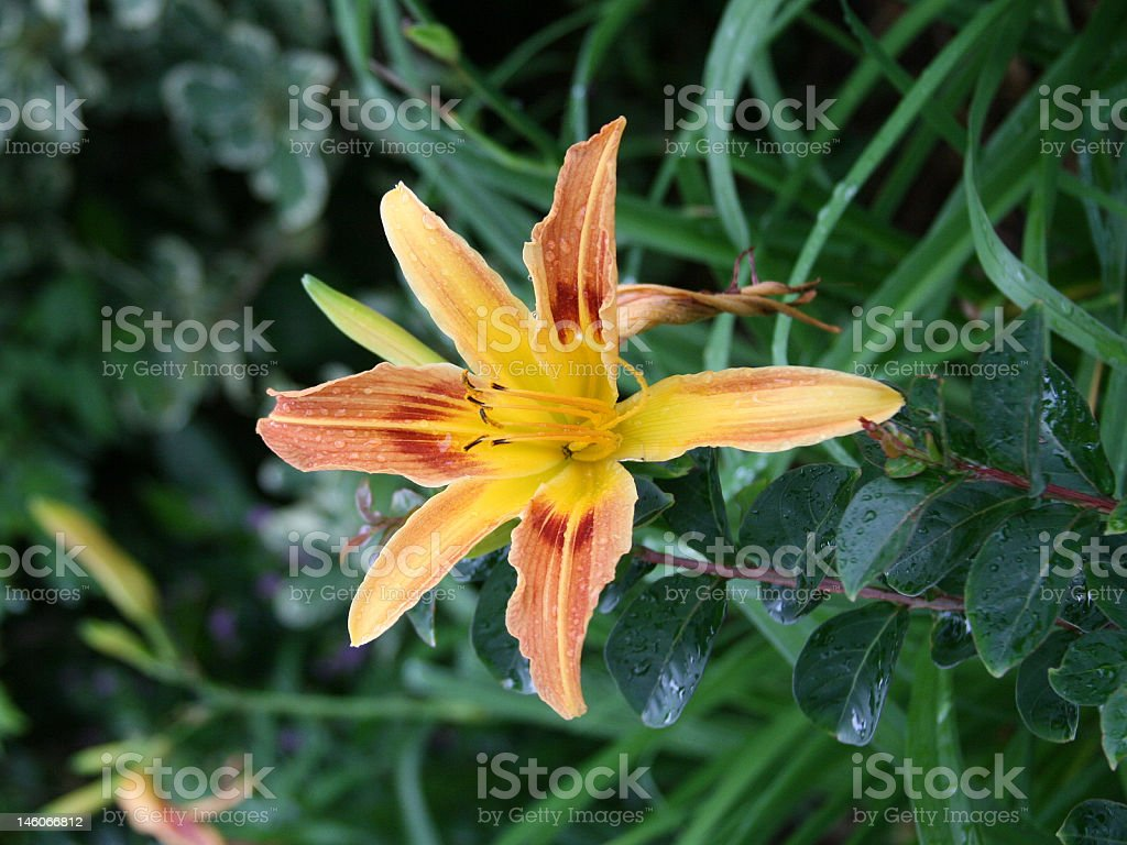 Yellow Orange Daylily Flower stock photo