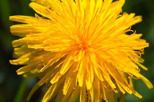 A yellow orange coloured dandelion flower head close up