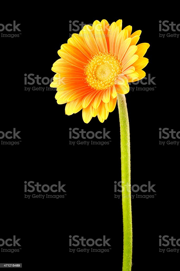Yellow Orange Gerbera Black Background royalty-free stock photo