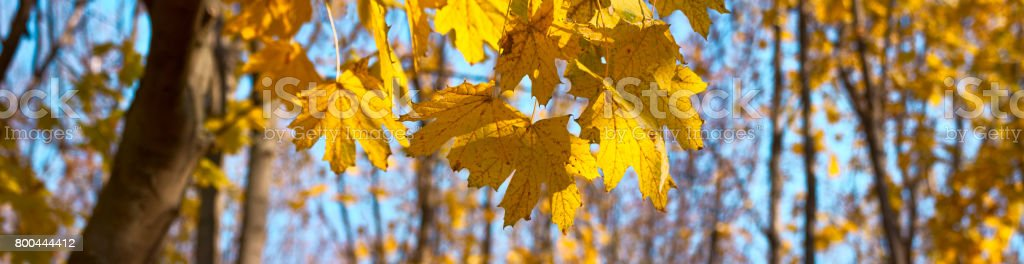 Yellow, orange maple autumn leaves - banner panorama stock photo