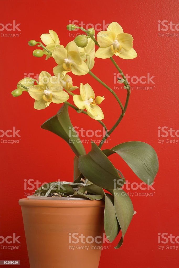 Yellow Orchid Against Red Wall stock photo