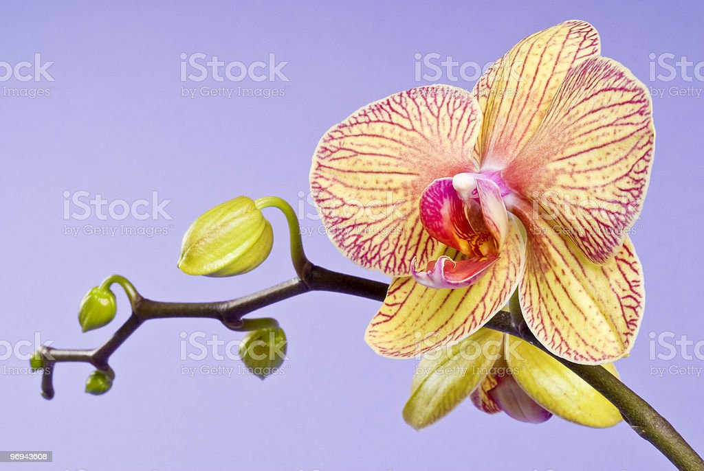 Yellow Orchid Blooming on Lavender Background royalty-free stock photo