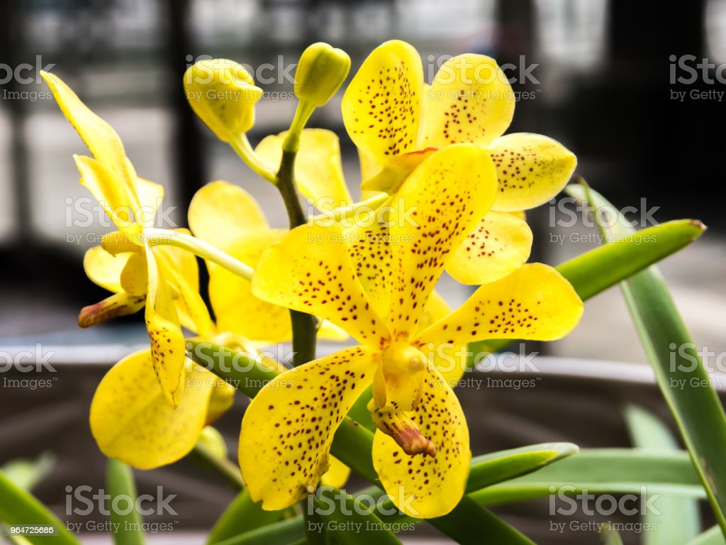 Yellow orchid bouquet royalty-free stock photo