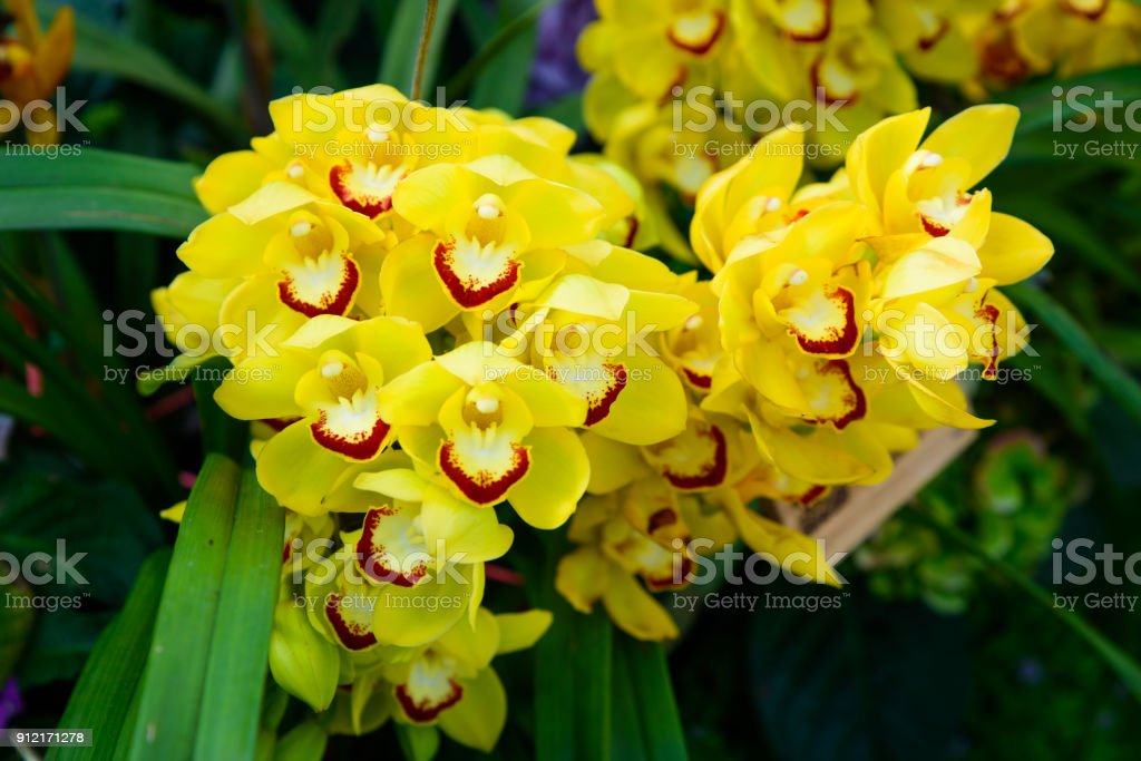 Yellow Orchid Cymbidium closeup. Breeding of orchids in garden.