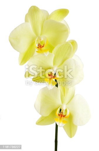 Yellow orchid flower, isolated on white background