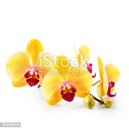 Yellow orchid flowers isolated on white background. Orchid branch with buds. Clipping path included