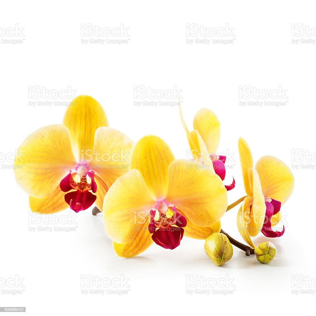 Yellow orchid flowers on white stock photo