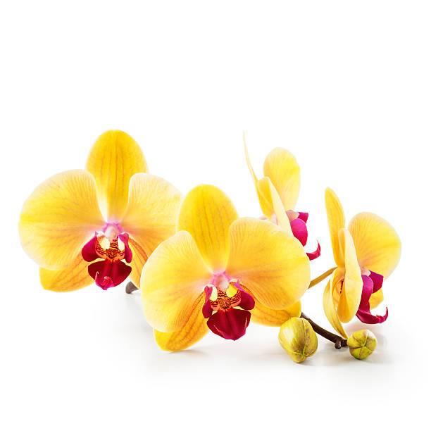 Royalty free beautiful yellow orchid flowers closeup pictures yellow orchid flowers on white stock photo mightylinksfo