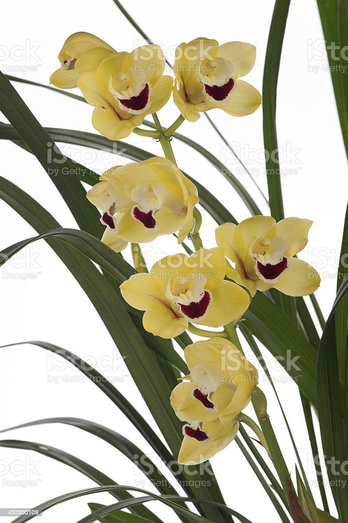 Yellow Orchid flowers over white (Cymbidium sp) stock photo