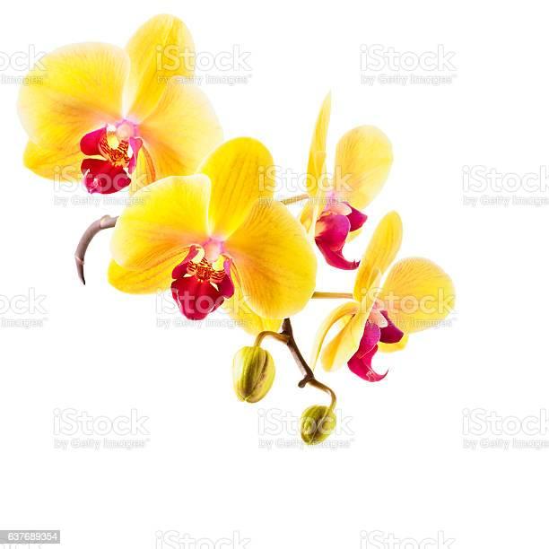 Yellow orchid flowers picture id637689354?b=1&k=6&m=637689354&s=612x612&h=4xh p8b9pczwbooad moiwokvptoc1ewrsg ci5ha4e=
