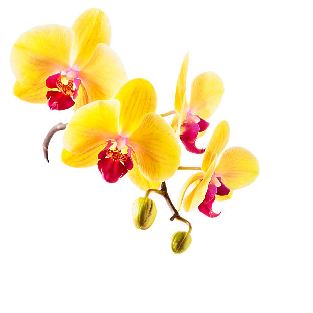Royalty free yellow orchids pictures images and stock photos istock yellow orchid flowers stock photo mightylinksfo