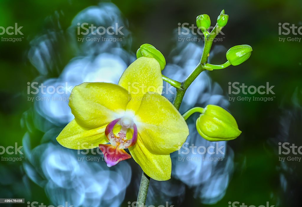 Yellow orchid flowers radiate color stock photo