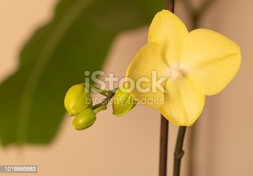 Yellow orchid in bloom. How to make orchids to bloom concept.