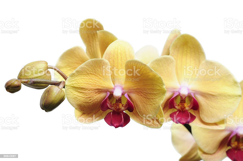 Yellow orchid on white royalty-free stock photo