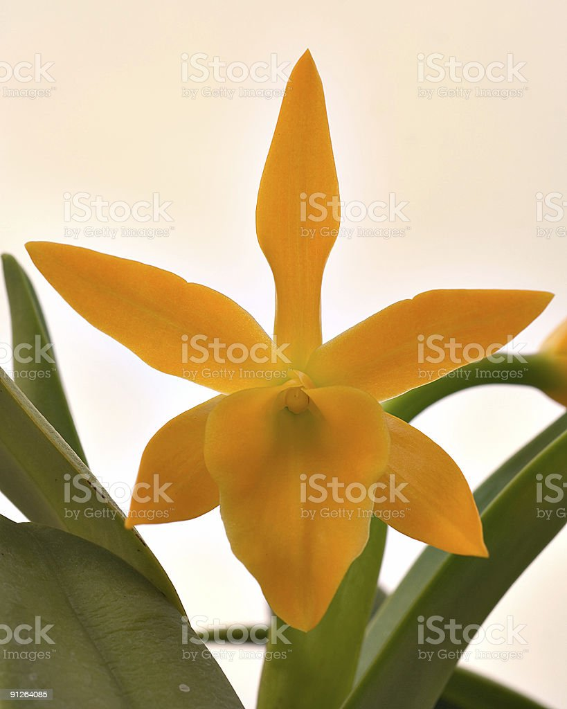 yellow orchid with grey sky in background royalty-free stock photo