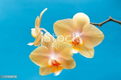 A bunch of yellow color orchid flowers on a blue background.