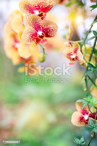 Yellow and red orchid (Phalaenopsis - Moth Orchid) in an orchid garden. Selective focus.