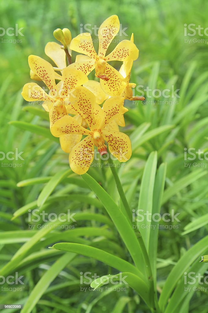 Yellow orchids royalty-free stock photo