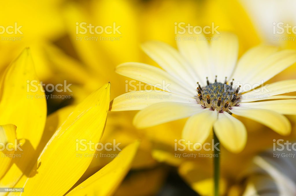 Yellow Osteospermum ecklonis flower stock photo
