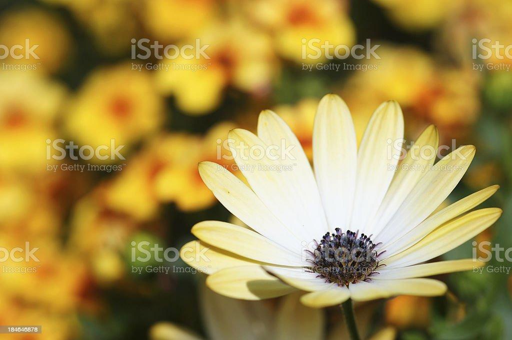 Yellow Osteospermum ecklonis flowers stock photo
