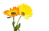 黄色 Osteospermum 花デイジー
