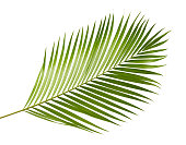 Yellow palm leaves (Dypsis lutescens) or Golden cane palm, Areca palm leaves, Tropical foliage isolated on white background
