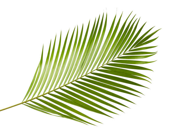 Yellow palm leaves (Dypsis lutescens) or Golden cane palm, Areca palm leaves, Tropical foliage isolated on white background with clipping path stock photo