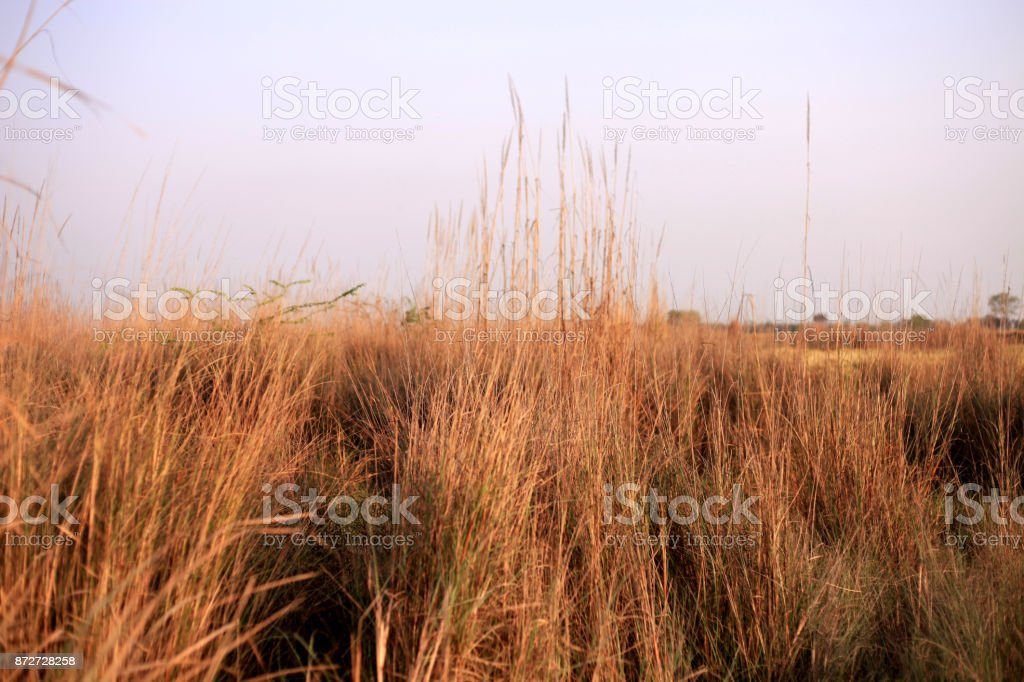 Yellow Pampas stock photo