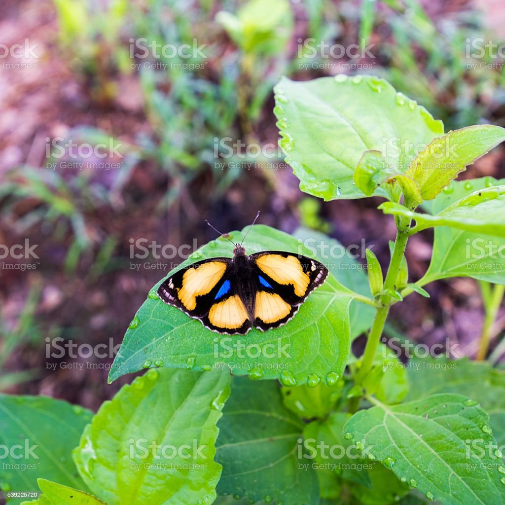 Yellow Pansy Butterfly on leaf stock photo