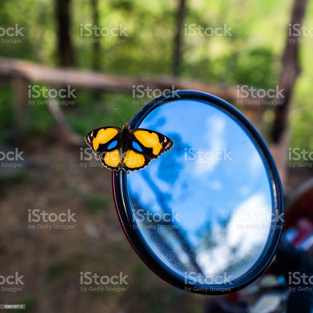 Yellow Pansy Butterfly on rear view mirror stock photo