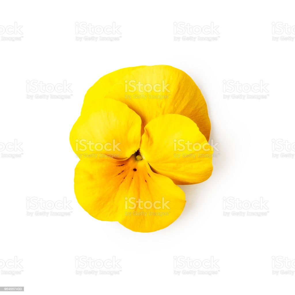 Yellow pansy flower stock photo
