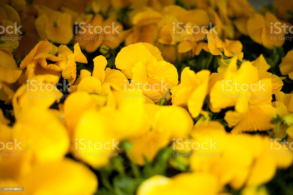 Yellow Pansy flowers stock photo