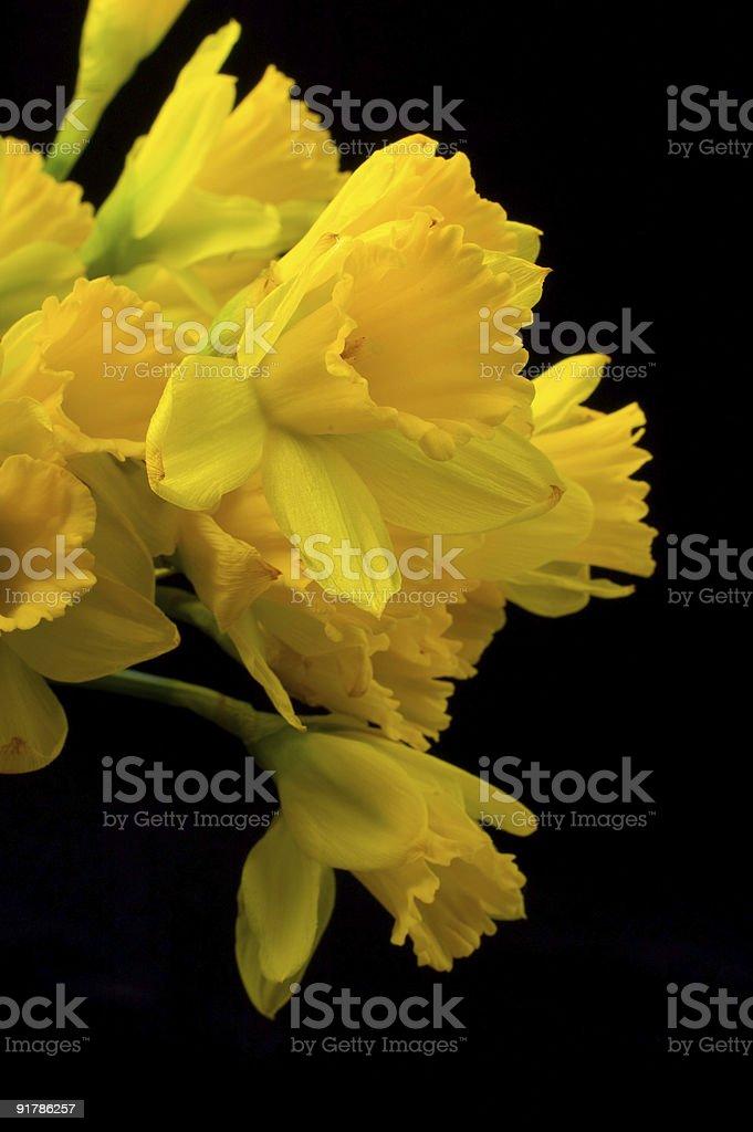 yellow paperwhites on black royalty-free stock photo