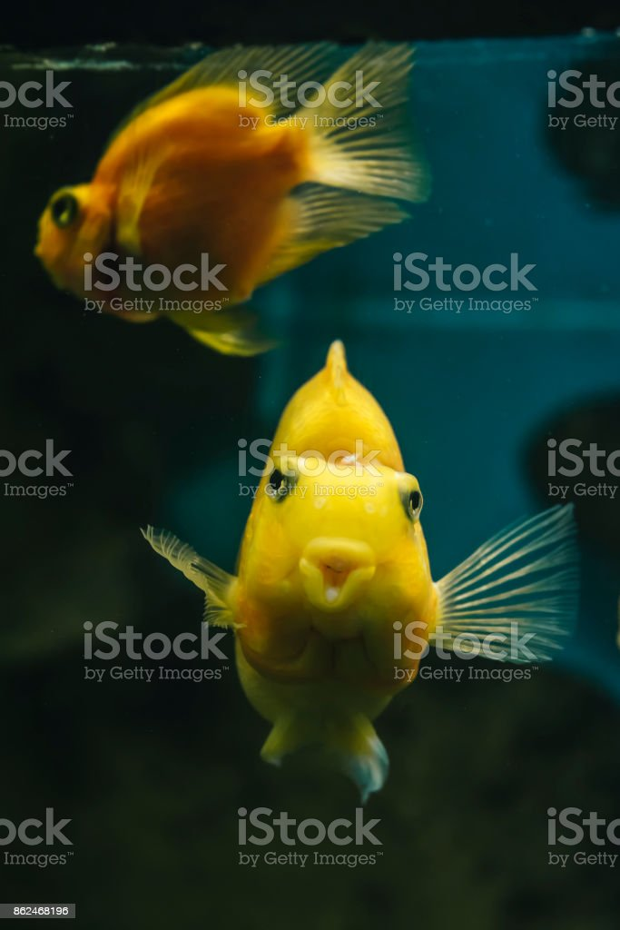 Yellow Parrot Cichlid fish stock photo